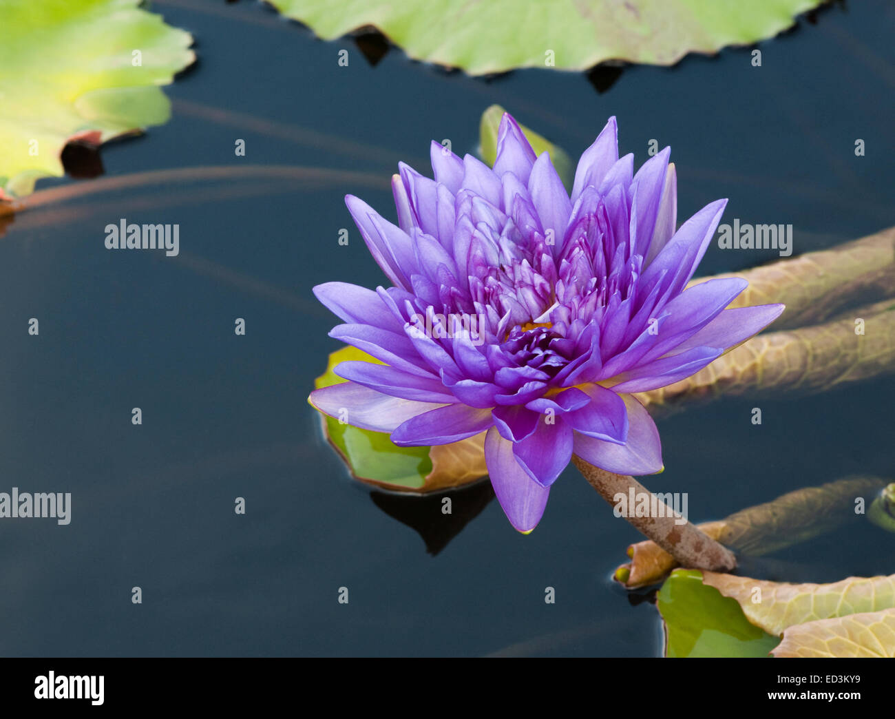 Tropical Waterlily - Nymphaea 'King of Siam' - Stock Image