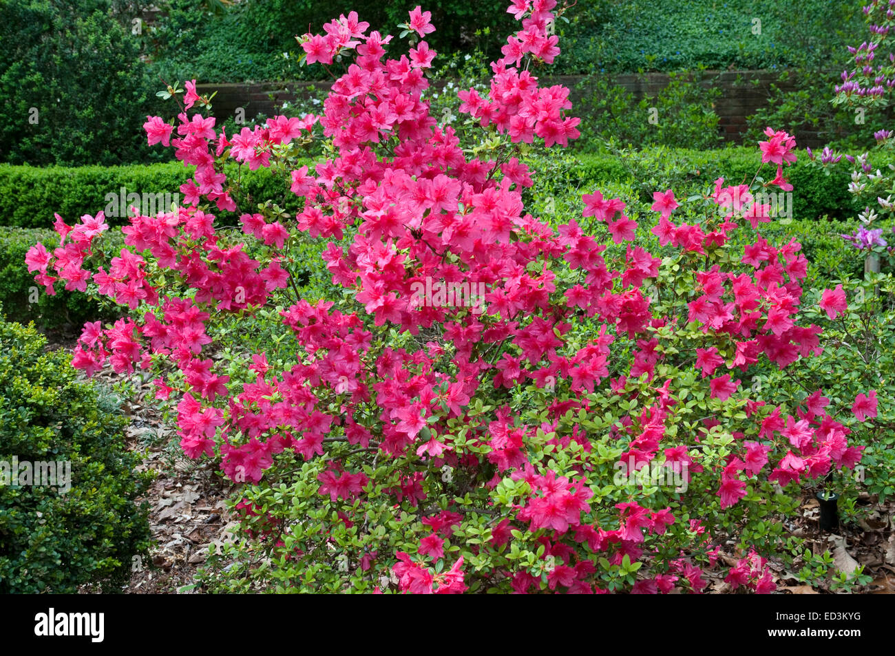 "Rhododendron ""Morning Star"" Stock Photo"