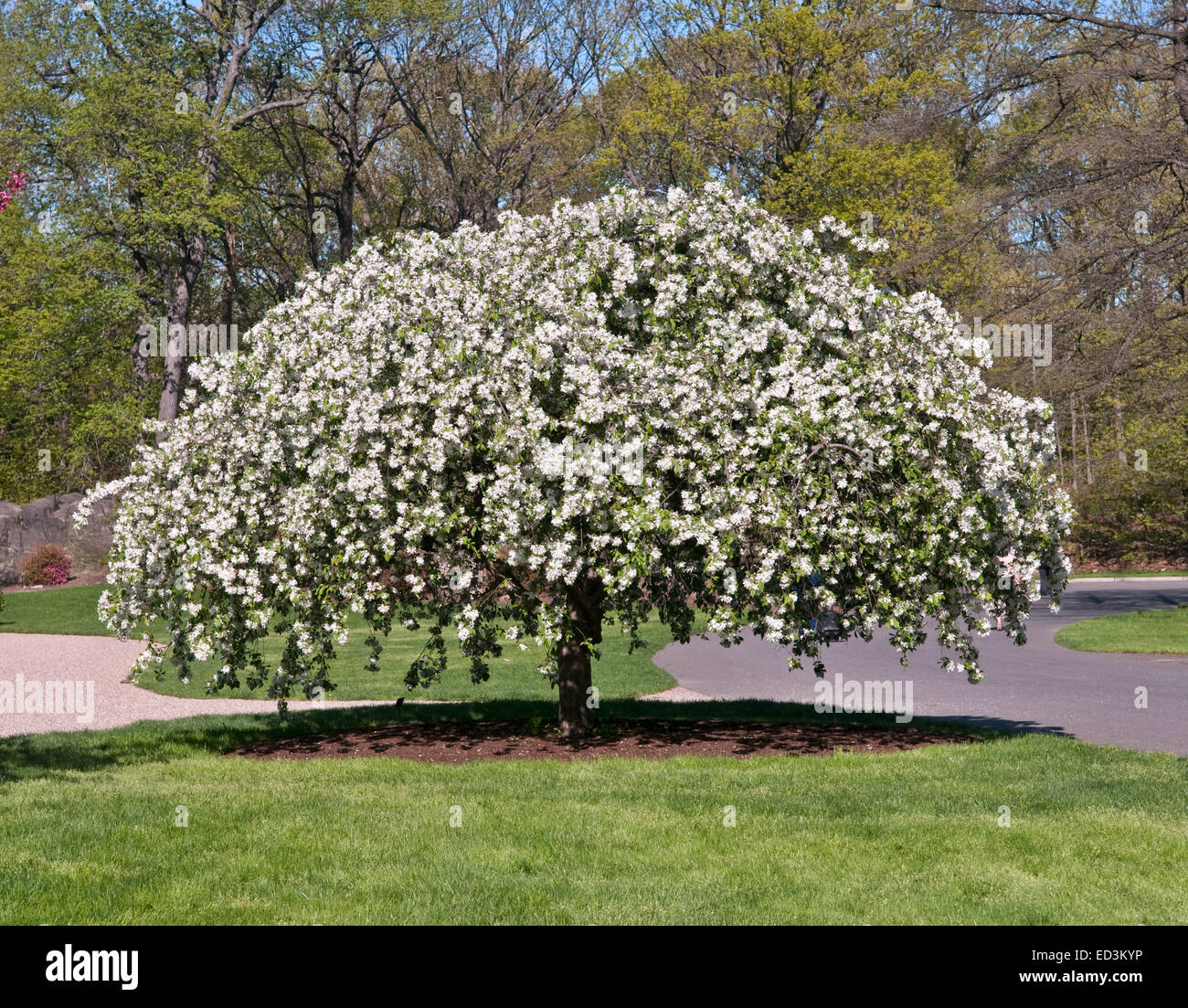 Crab Apple Tree Stock Photos Crab Apple Tree Stock Images Alamy