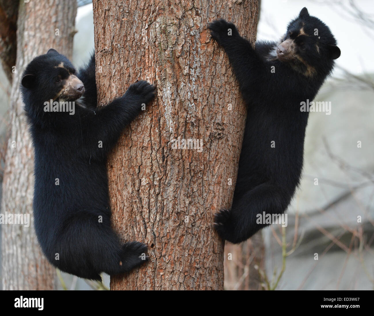 Andean bear twins Tupa and Sonco climb up a tree in the zoo in Frankfurt am Main, Germany, 25 December 2014. The Stock Photo