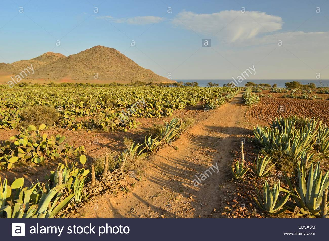 Dirt path through arid volcanic landscape with Agave and cactus plants, Cabo De Gata Nijar Natural Park Almeria - Stock Image