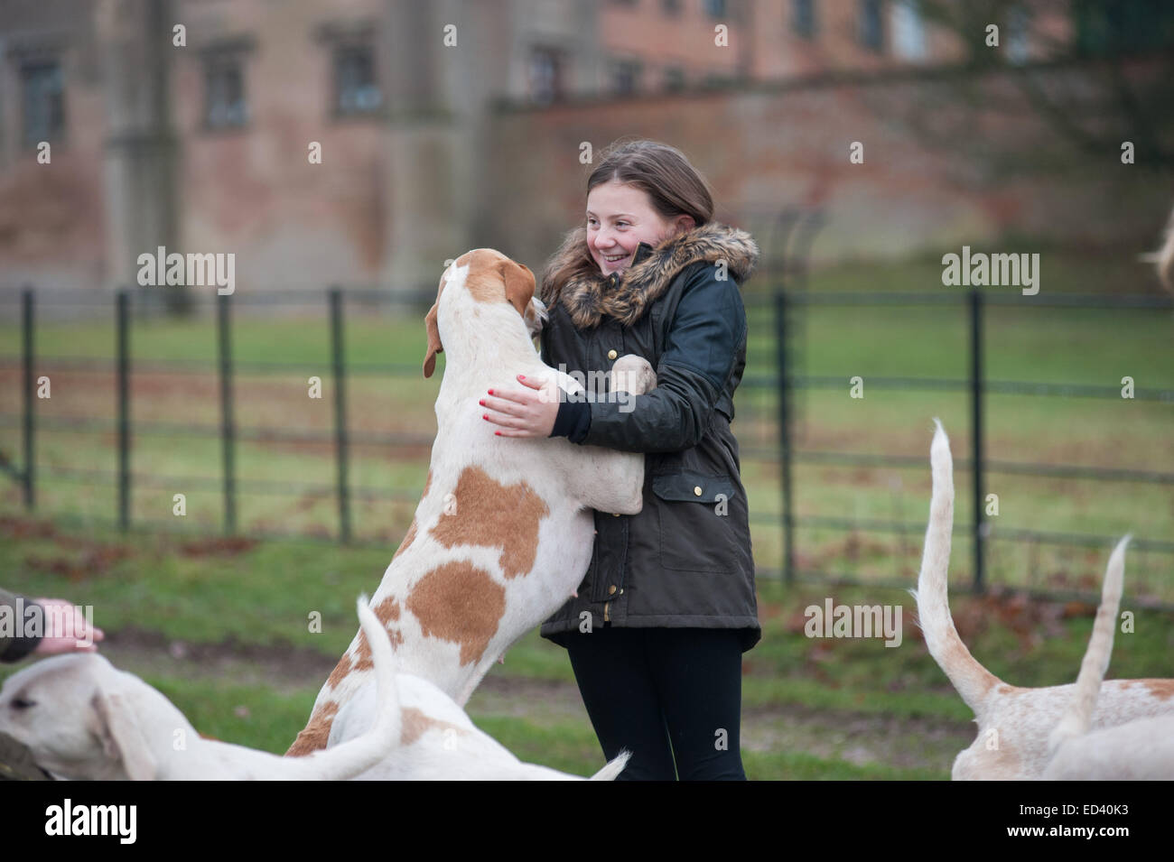 Girl being licked by fox hound dog Staffordshire, UK. 26th Dec, 2014. Annual Boxing Day meet of the Meynell and - Stock Image