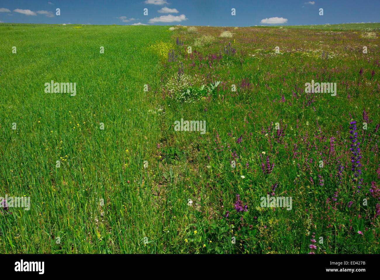 Adjacent fields showing cultivated monoculture and flowery fallow field for comparison. East Turkey - Stock Image