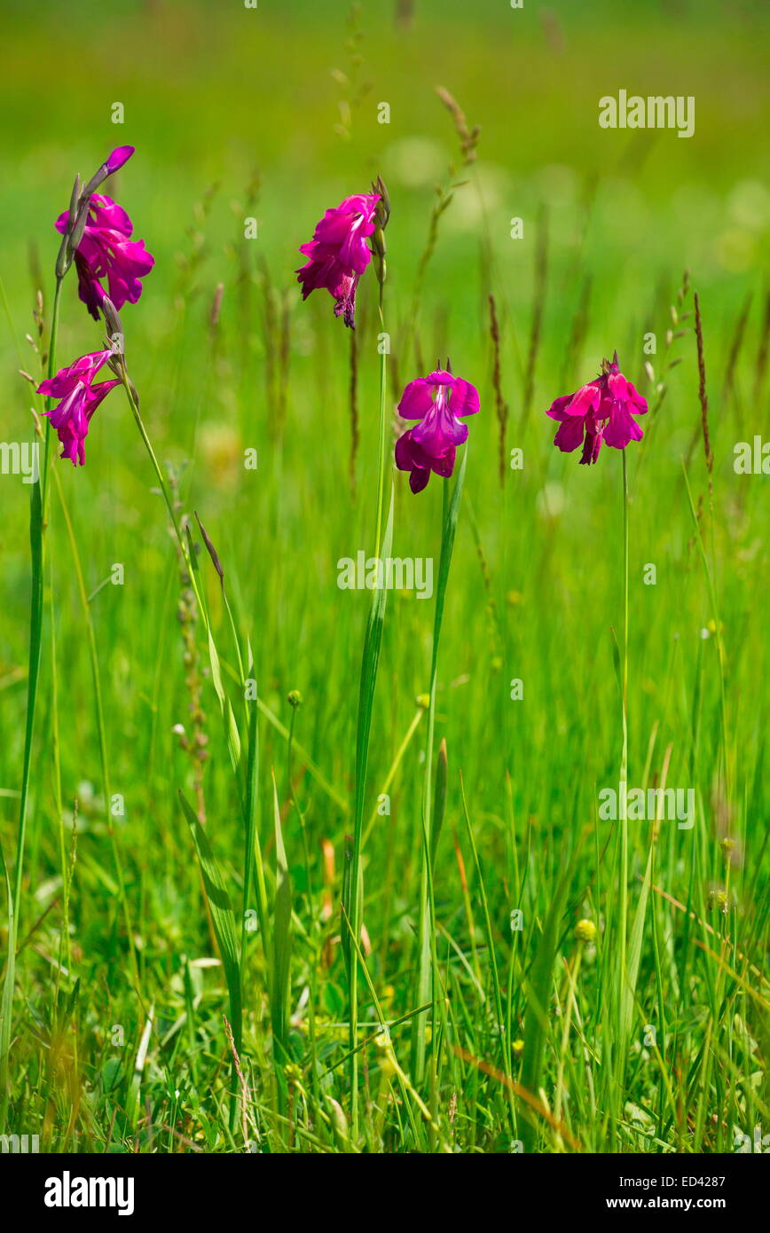 A wild gladiolus, Gladiolus kotschyanus near Cildir, in far eastern  Turkey - Stock Image