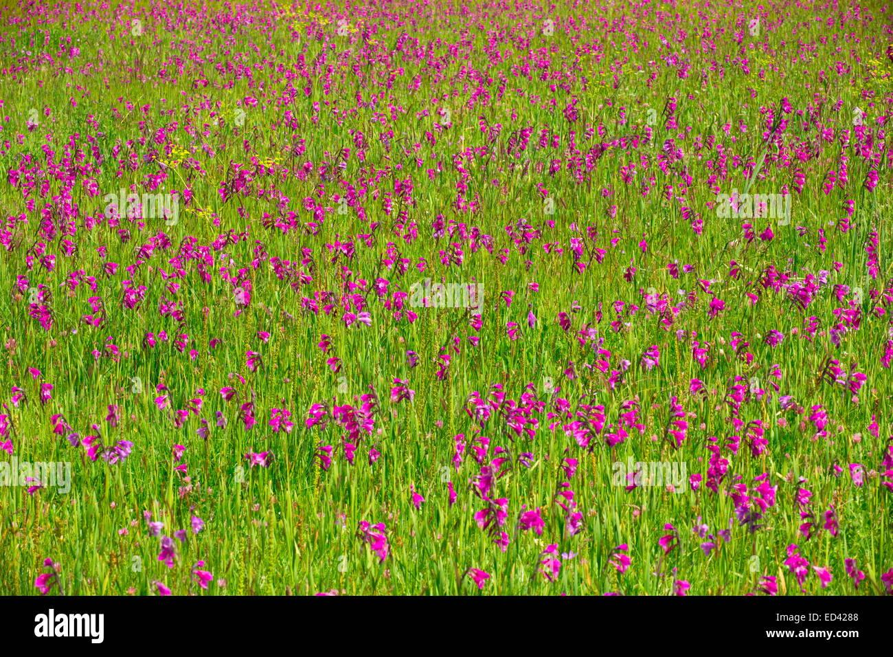 Marsh full of a wild gladiolus, Gladiolus kotschyanus near Cildir, in far eastern  Turkey - Stock Image