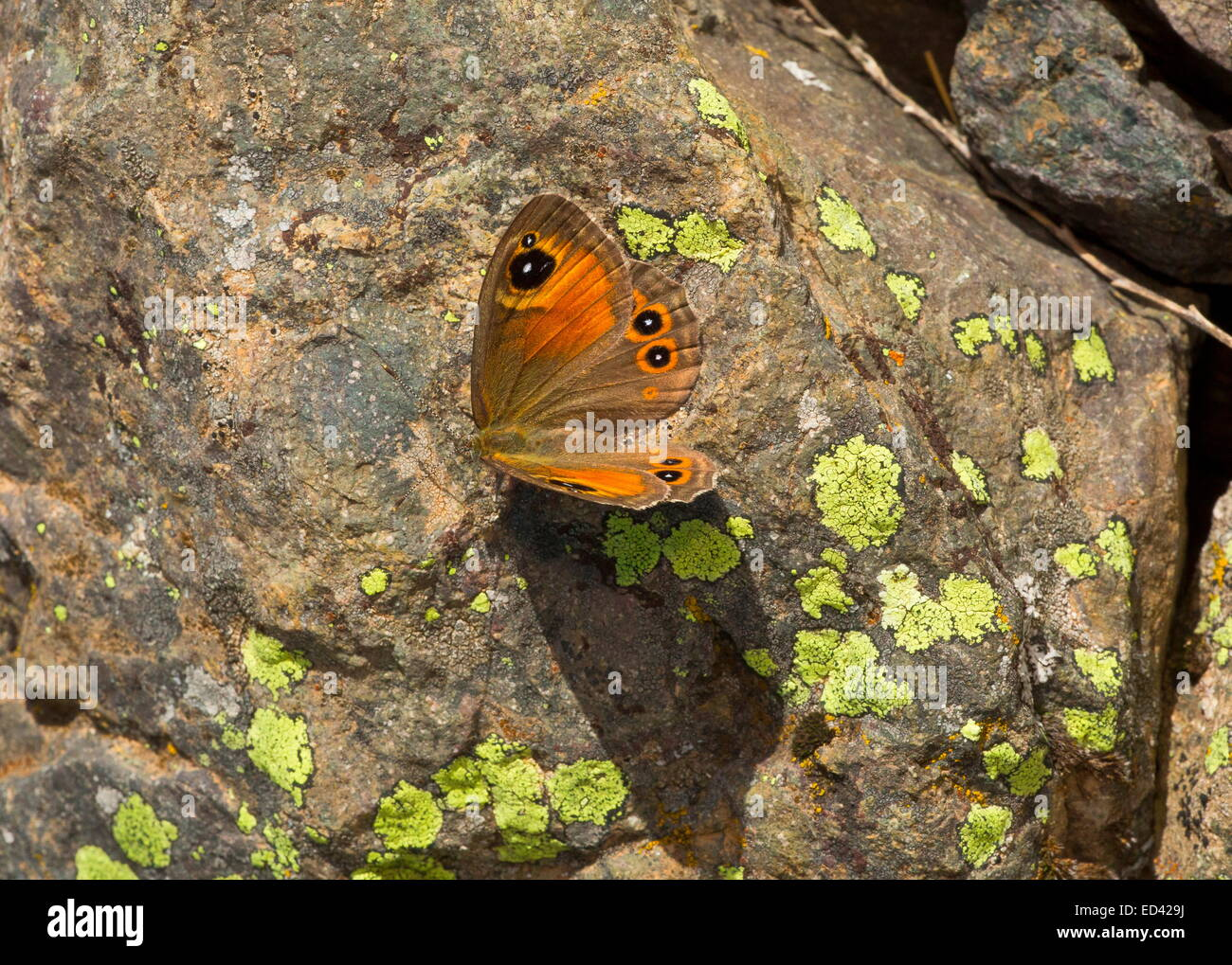 Large Wall Brown butterfly, basking on rock; Pontic Alps, Turkey - Stock Image