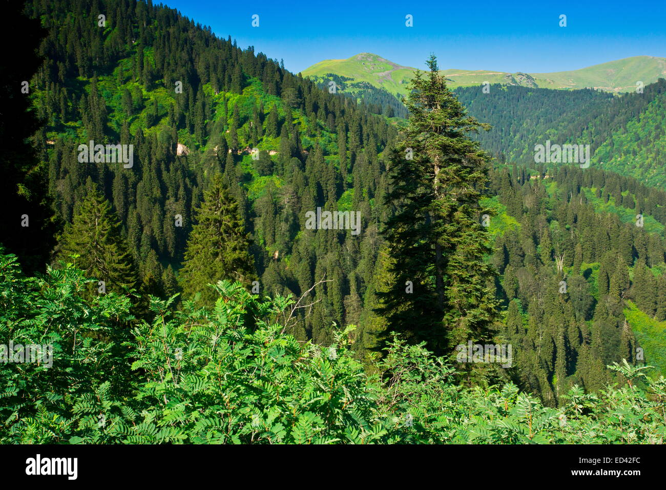 Euxine forest of Picea orientalis and Abies nordmanniana on the north slopes of the Pontic Alps near Ikizdere, north - Stock Image