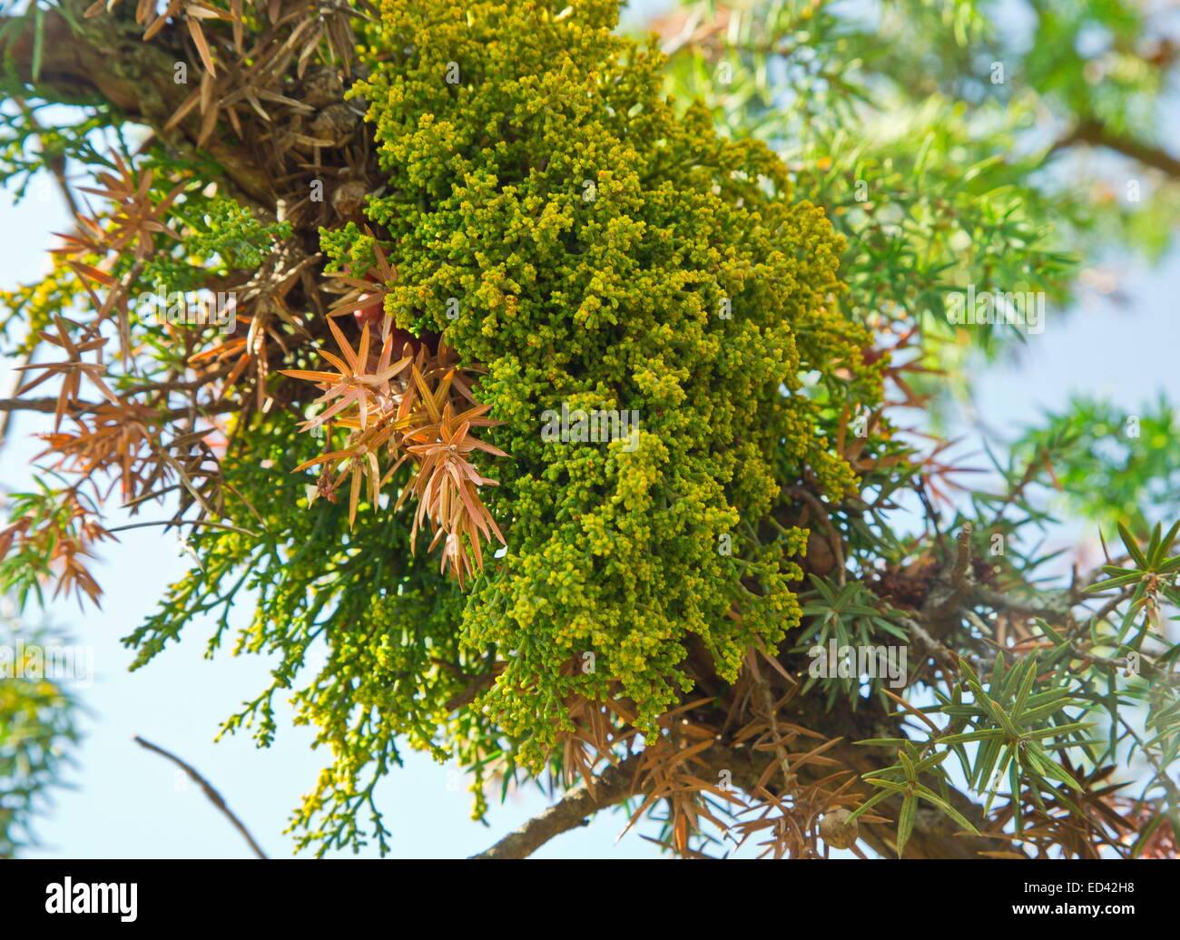Juniper Dwarf Mistletoe,  Arceuthobium oxycedri, - a semi-parasite on Juniper. Turkey - Stock Image