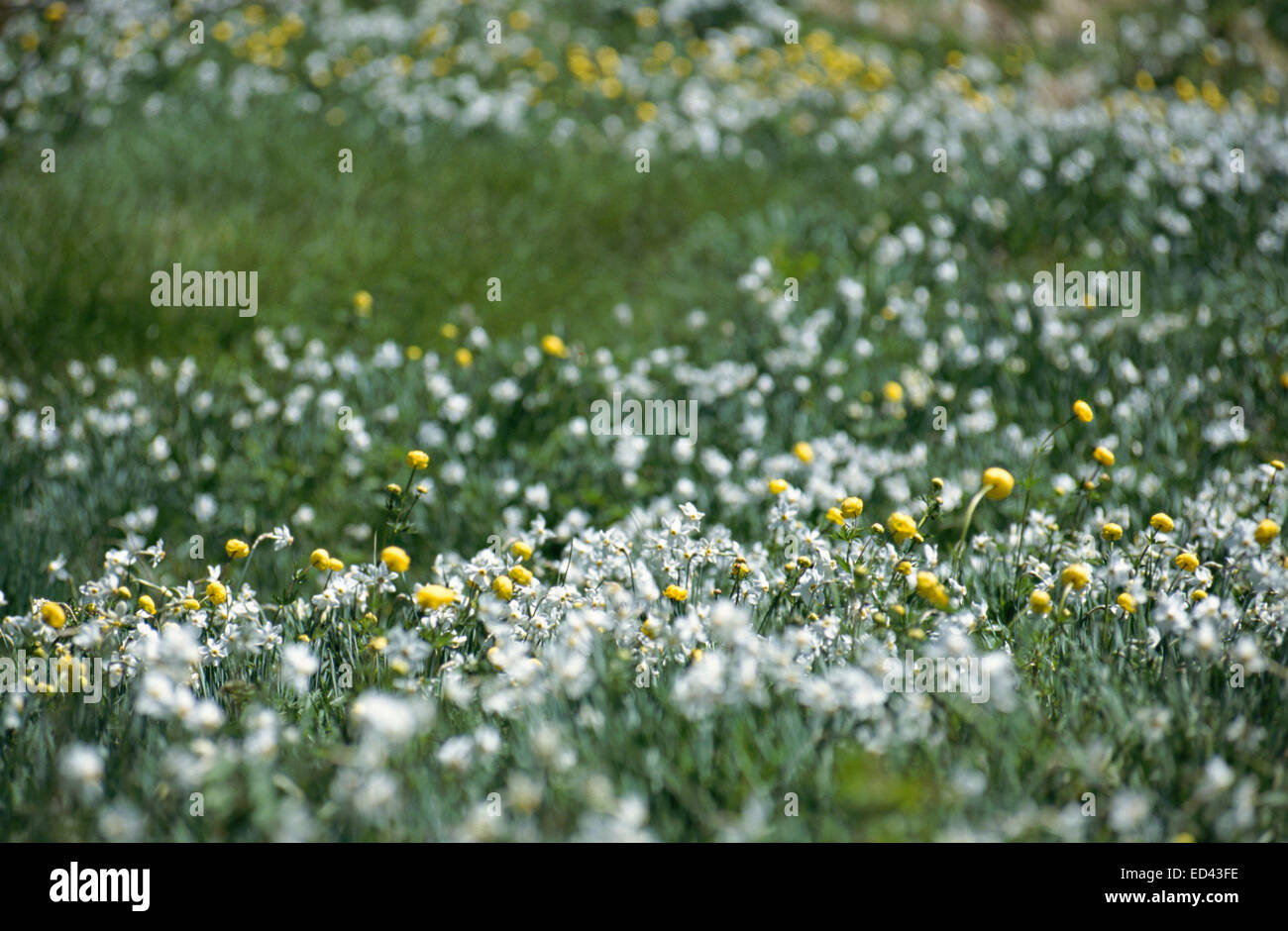 Yellow and white flowers field with low depth of field and blur background - Stock Image