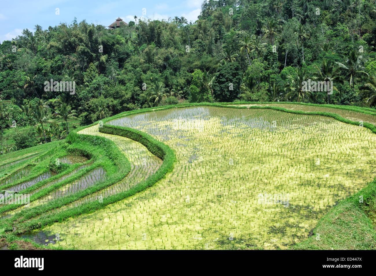 Batukau rice fields, Bali, Indonesia Stock Photo