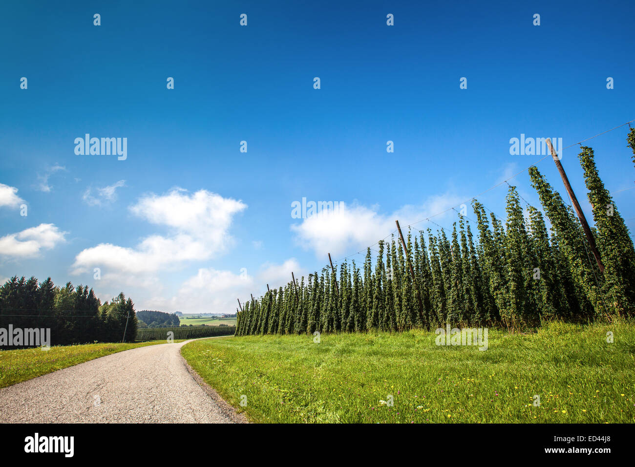 Landscape with a ripening hop plants in a sunny day. - Stock Image