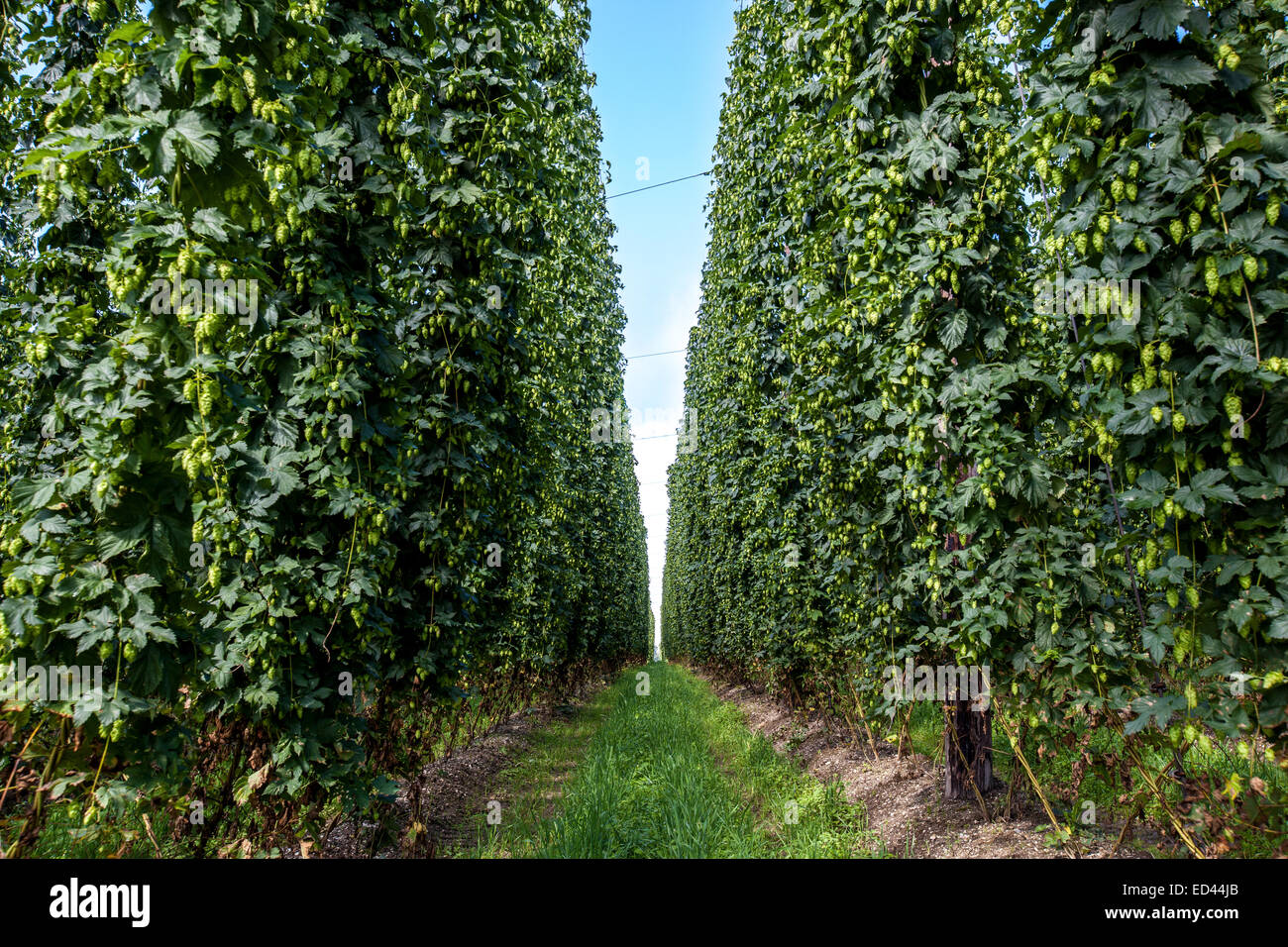 Agricultural field with a ripening hop plants. - Stock Image