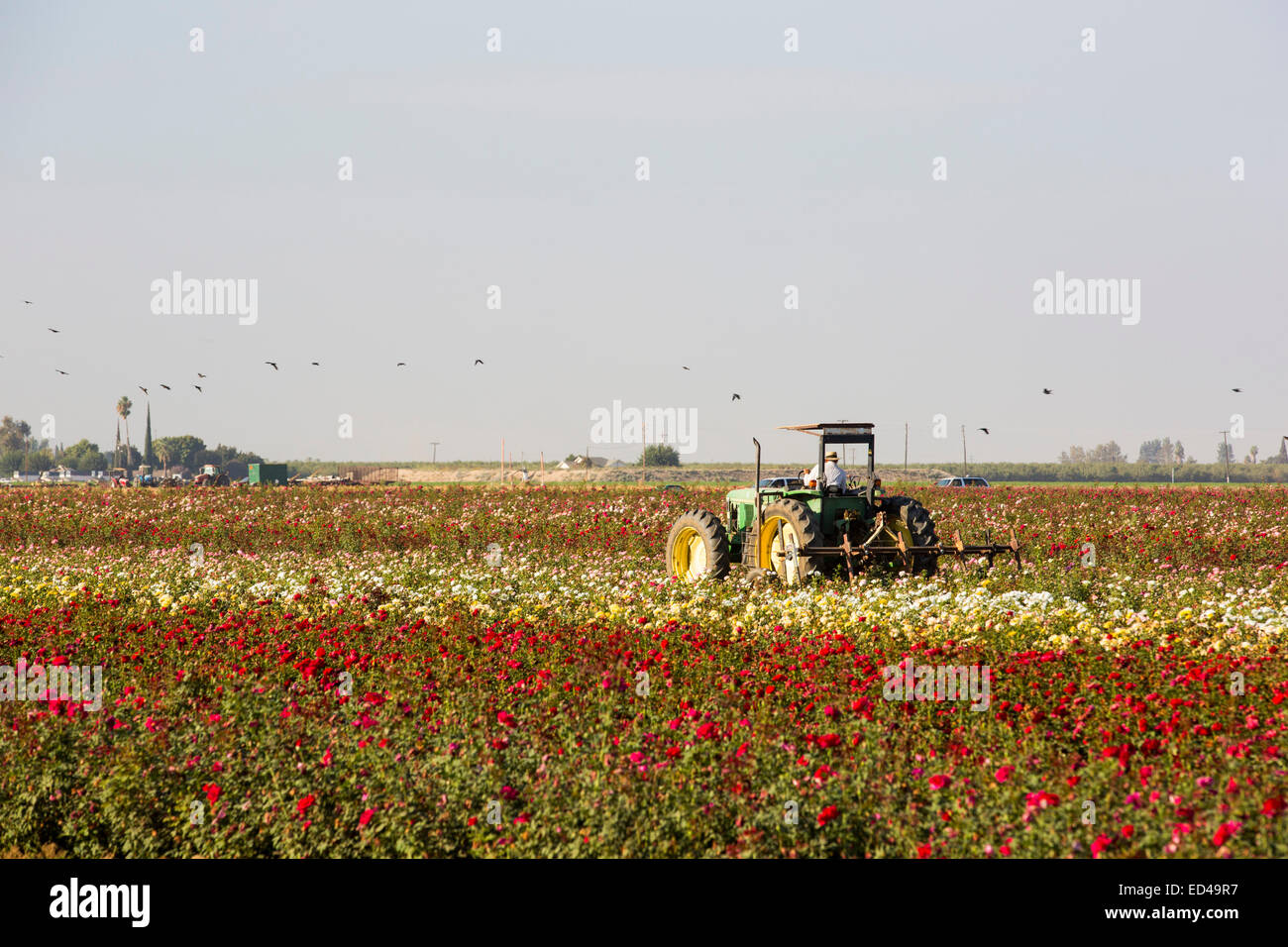 A farmer and tractor in a field of roses in Wasco in the Central Valley of California that are vulnerable following - Stock Image