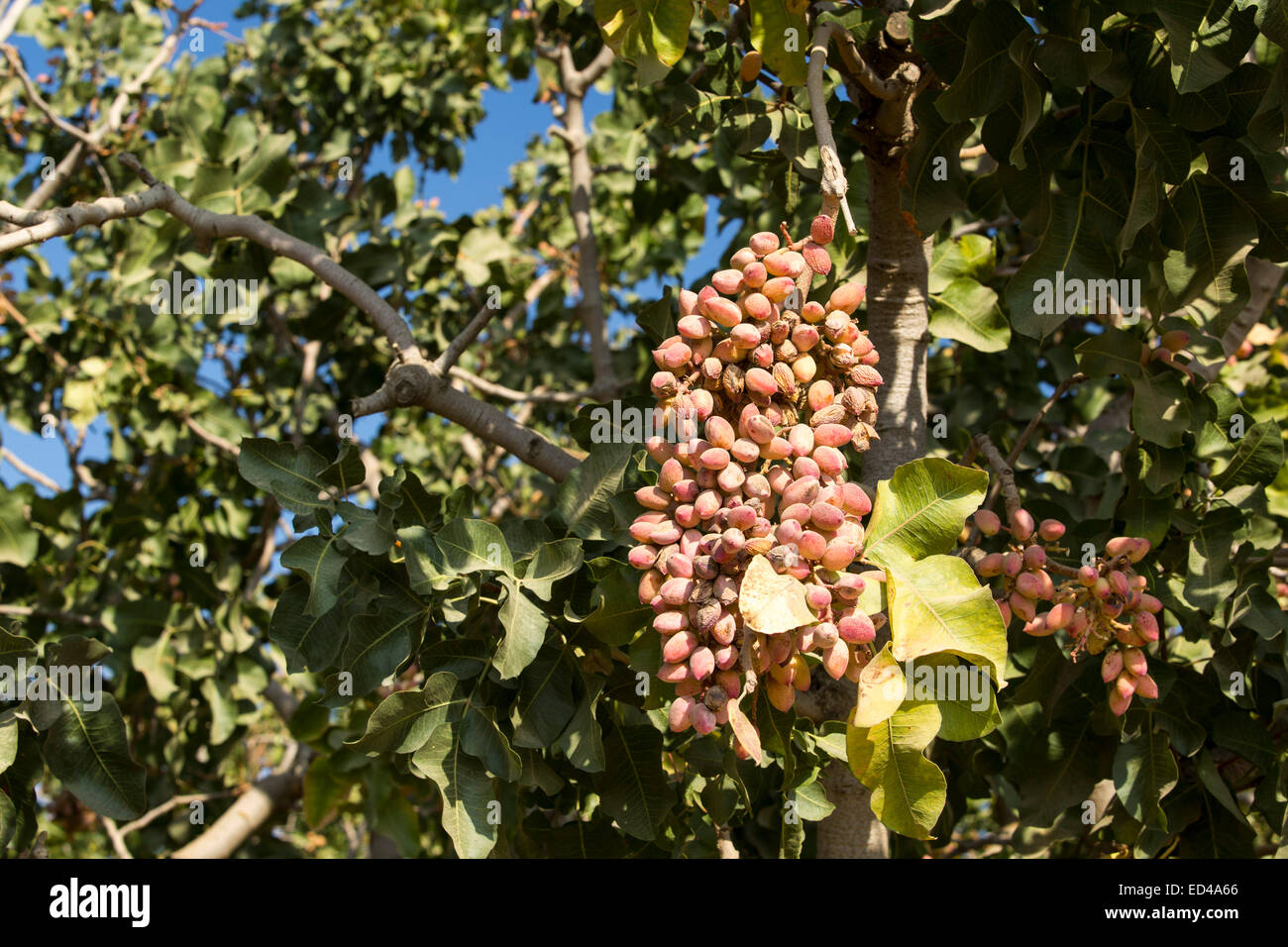 A farmers crop of pistachios in Wasco in the Central Valley of California that are vulnerable following the four - Stock Image