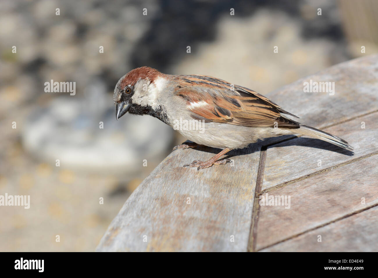 Cheeky sparrow on a cafe table Stock Photo