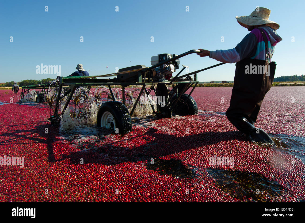 Water reels or 'egg beaters' remove the cranberries from their vines and allow for the water harvesting - Stock Image