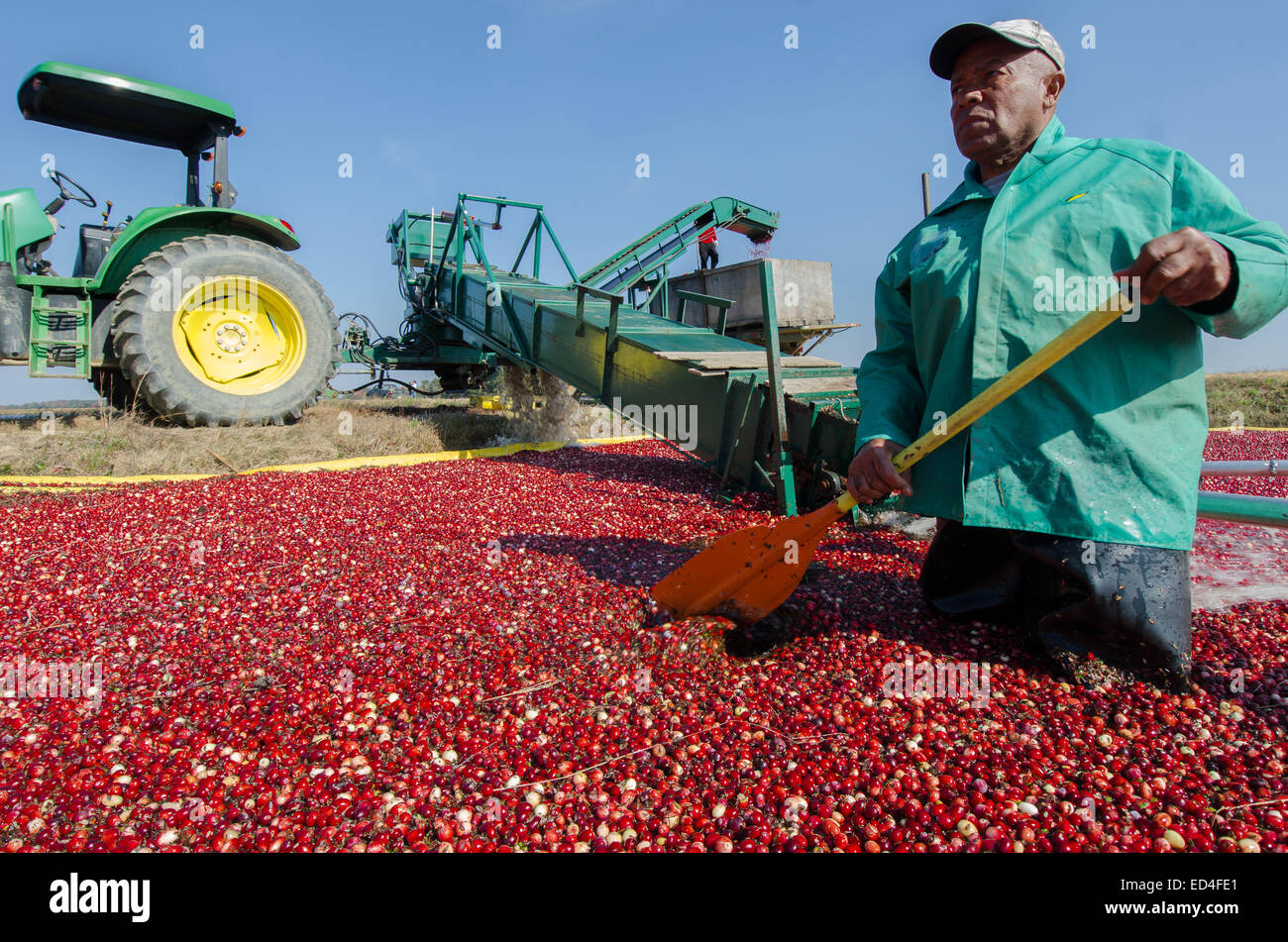 Wading in the bogs, laborers harvest cranberries by pushing the berries up a conveyor belt and into awaiting trucks. - Stock Image