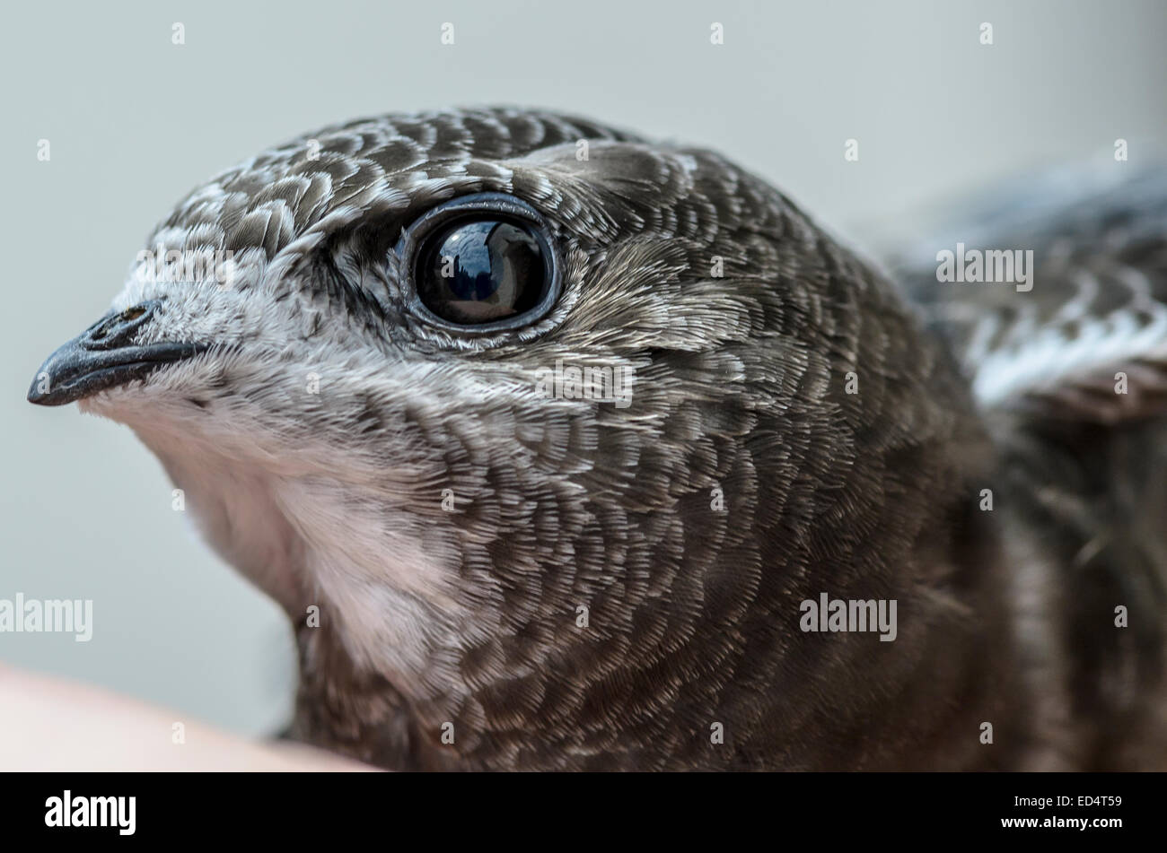 Closeup of a rescued swift - Stock Image