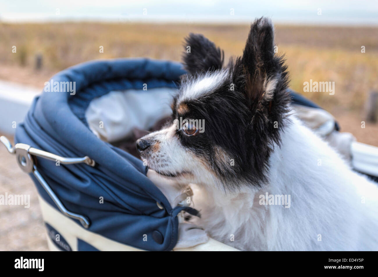 A senior dog, a Papillon, also called the Continental Toy Spaniel, seated in a vintage pram. - Stock Image