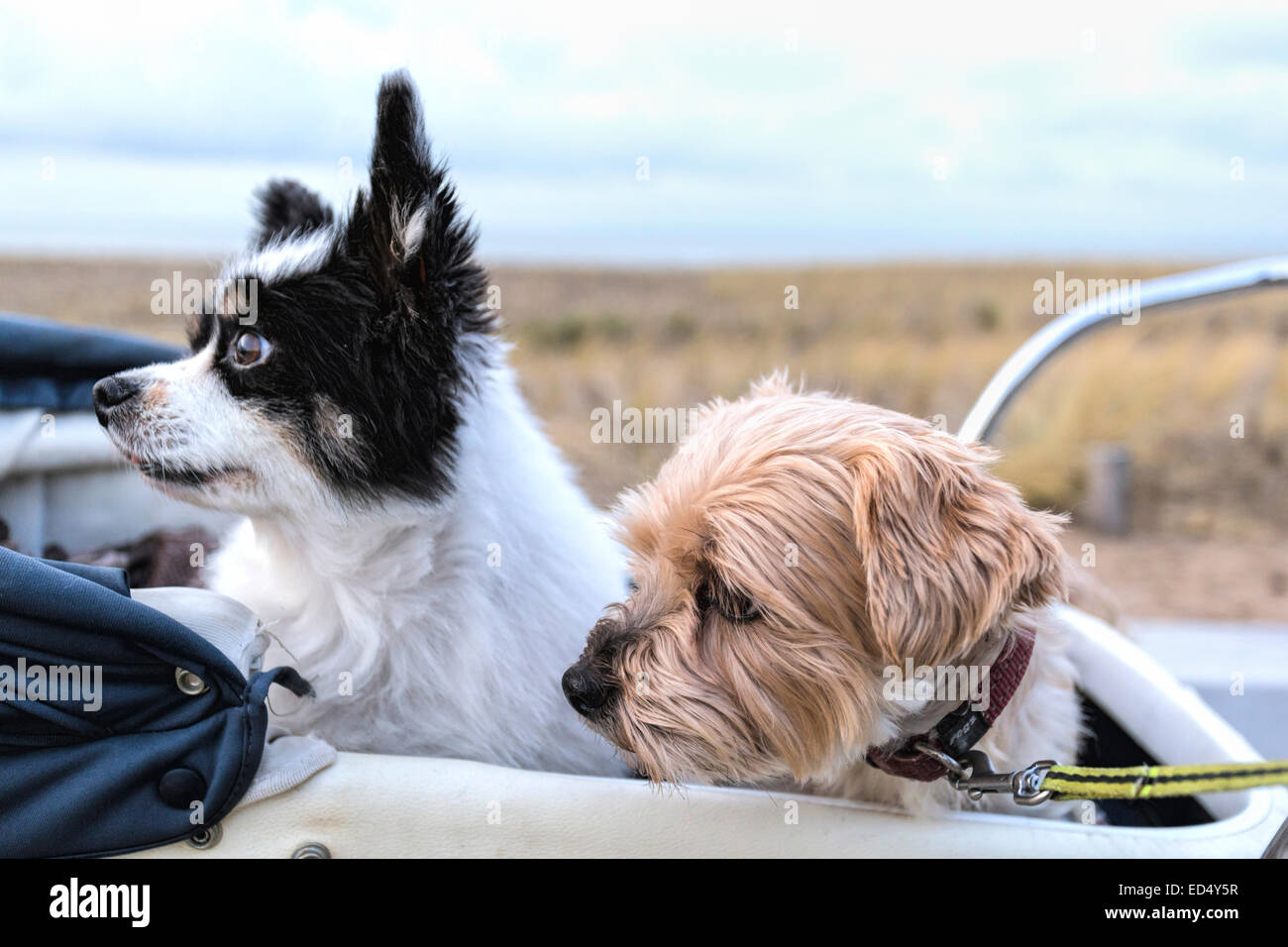 Two senior dogs, a Papillon and a Yorkshire Terrier seated in a vintage pram looking in the same direction. - Stock Image