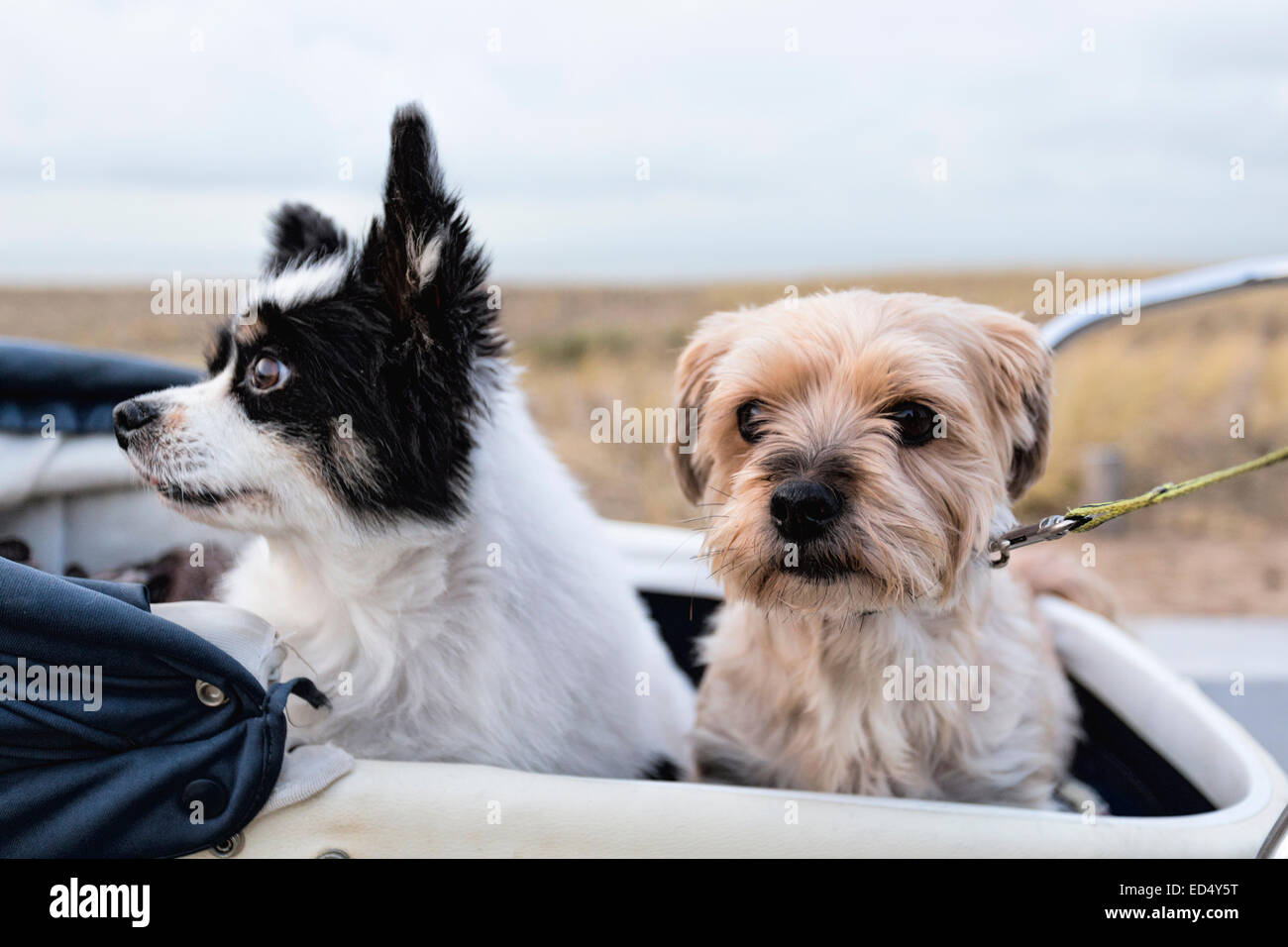 Portrait of two senior dogs, a Papillon, a.k.a. Continental Toy Spaniel and a Yorkshire Terrier seated in a vintage - Stock Image