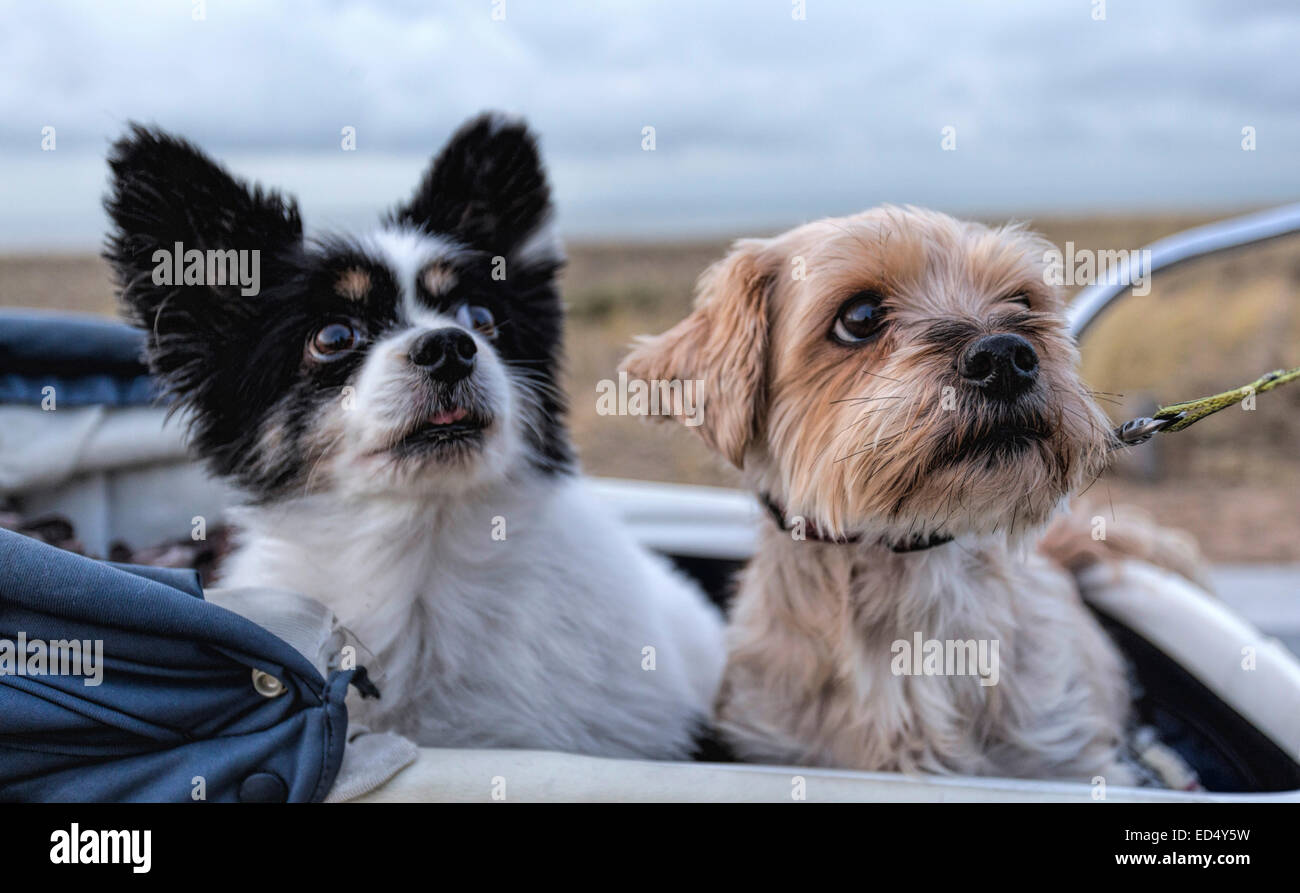 Portrait of two senior dogs, a Papillon and a Yorkshire Terrier seated in a vintage pram. - Stock Image