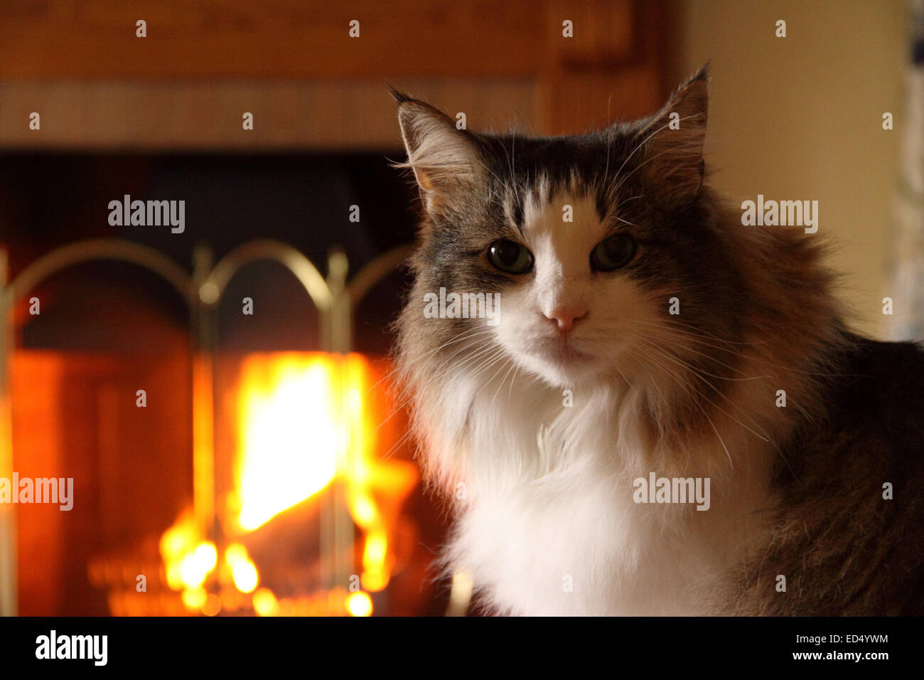 Long haired Norwegian Forest cat sat beside a roaring log fire Stock Photo