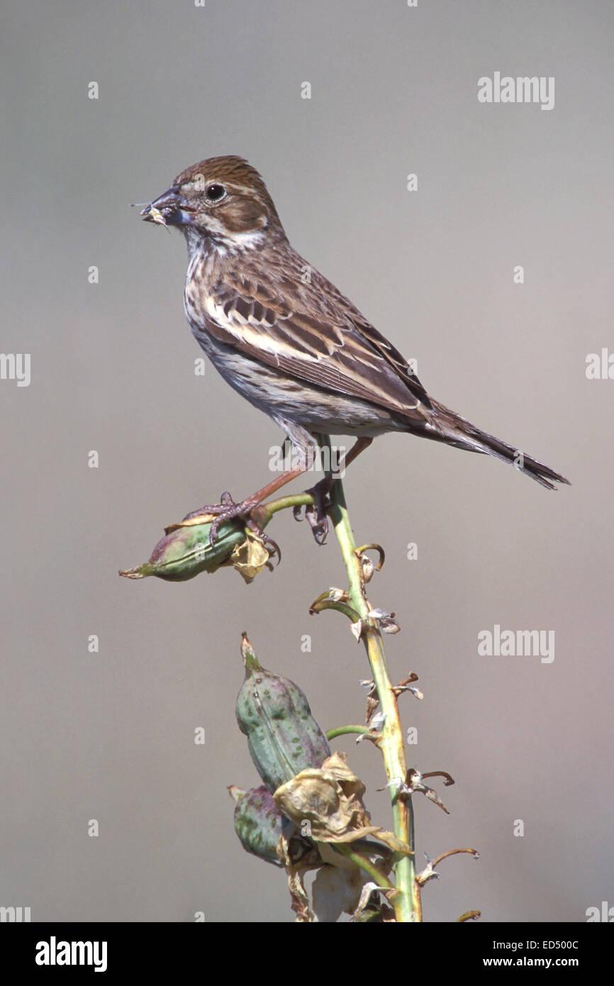 Lark Bunting - Calamospiza melanocorys - breeding female - Stock Image