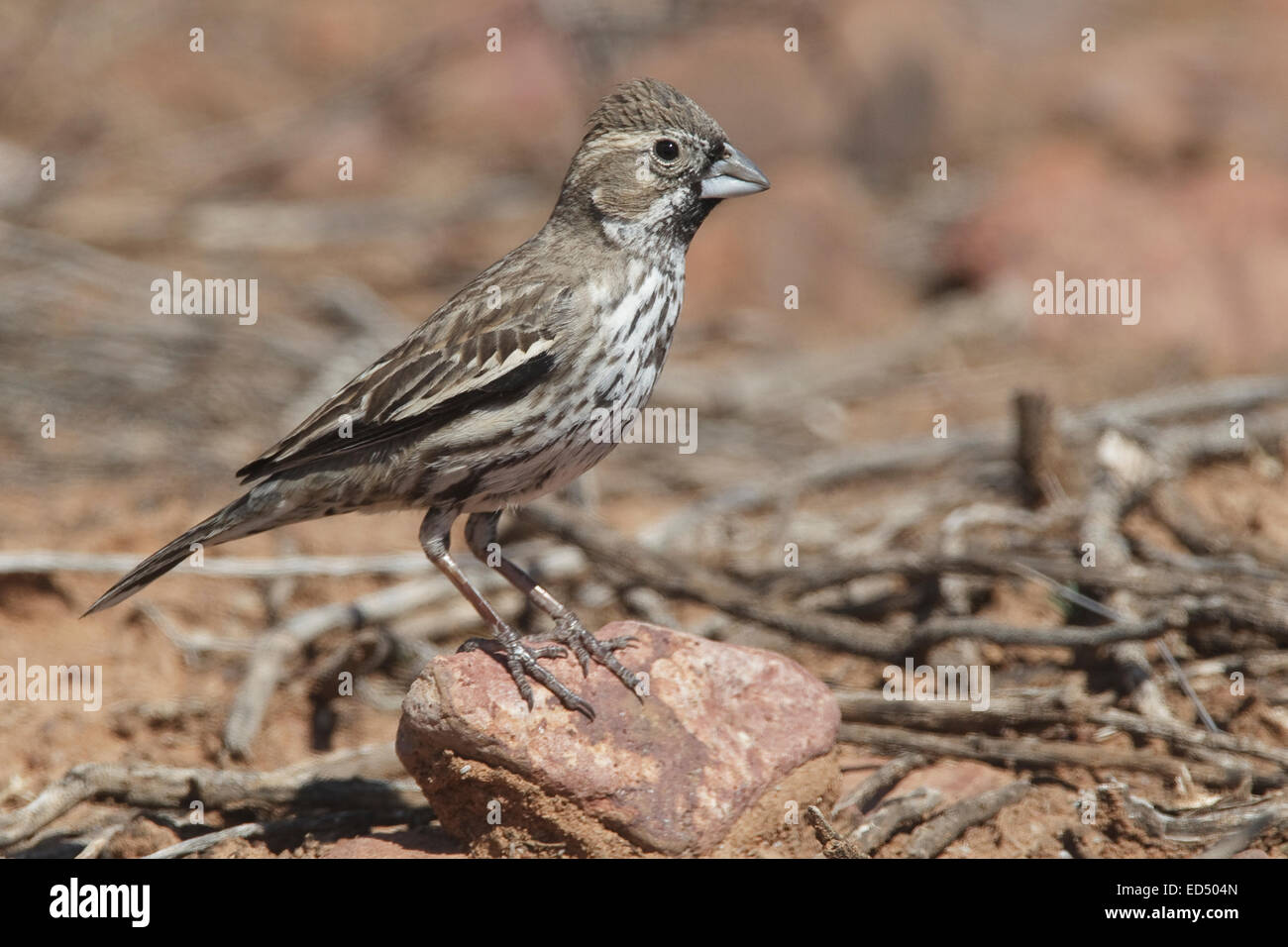 Lark Bunting - Calamospiza melanocorys - non-breeding male - Stock Image