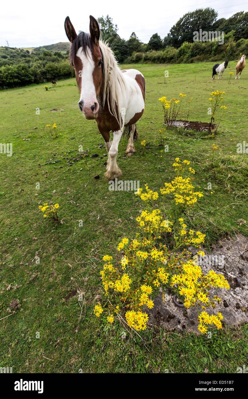 Horse with toxic flowering ragwort, Jacobaea vulgaris syn. Senecio jacobaea, Crymlyn Bog near Neath and Swansea, - Stock Image