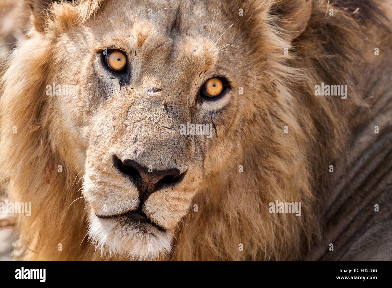 Resting male lion, with piercing eyes. - Stock Image
