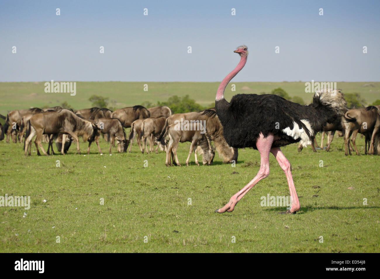 Male Masai ostrich, in pink mating color, walking among wildebeests, Masai Mara, Kenya - Stock Image