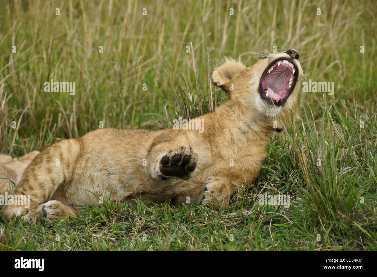 Lion cub yawning, Masai Mara, Kenya - Stock Image