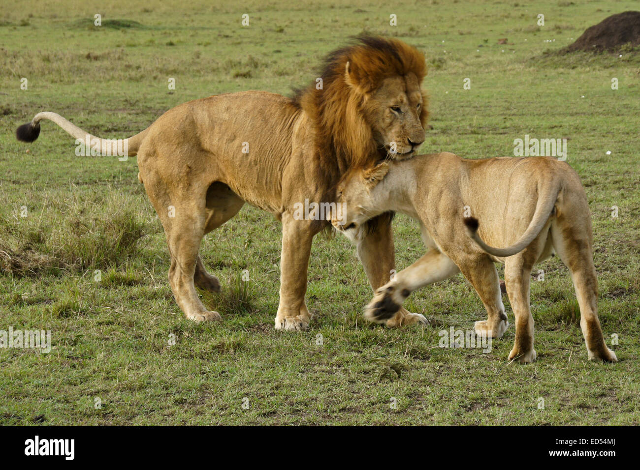 Lions courting, Masai Mara, Kenya - Stock Image