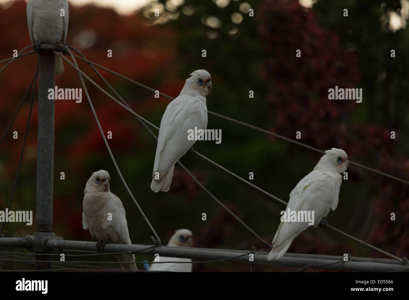 A photograph of some Little Corellas on a backyard clothesline. The photograph was taken in northern NSW, Australia. - Stock Image