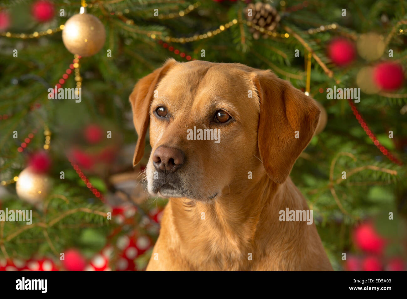 Yellow Labrador in Christmas setting Stock Photo