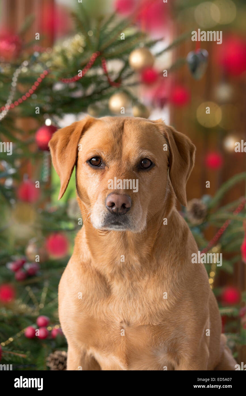 Yellow Labrador in Christmas setting - Stock Image
