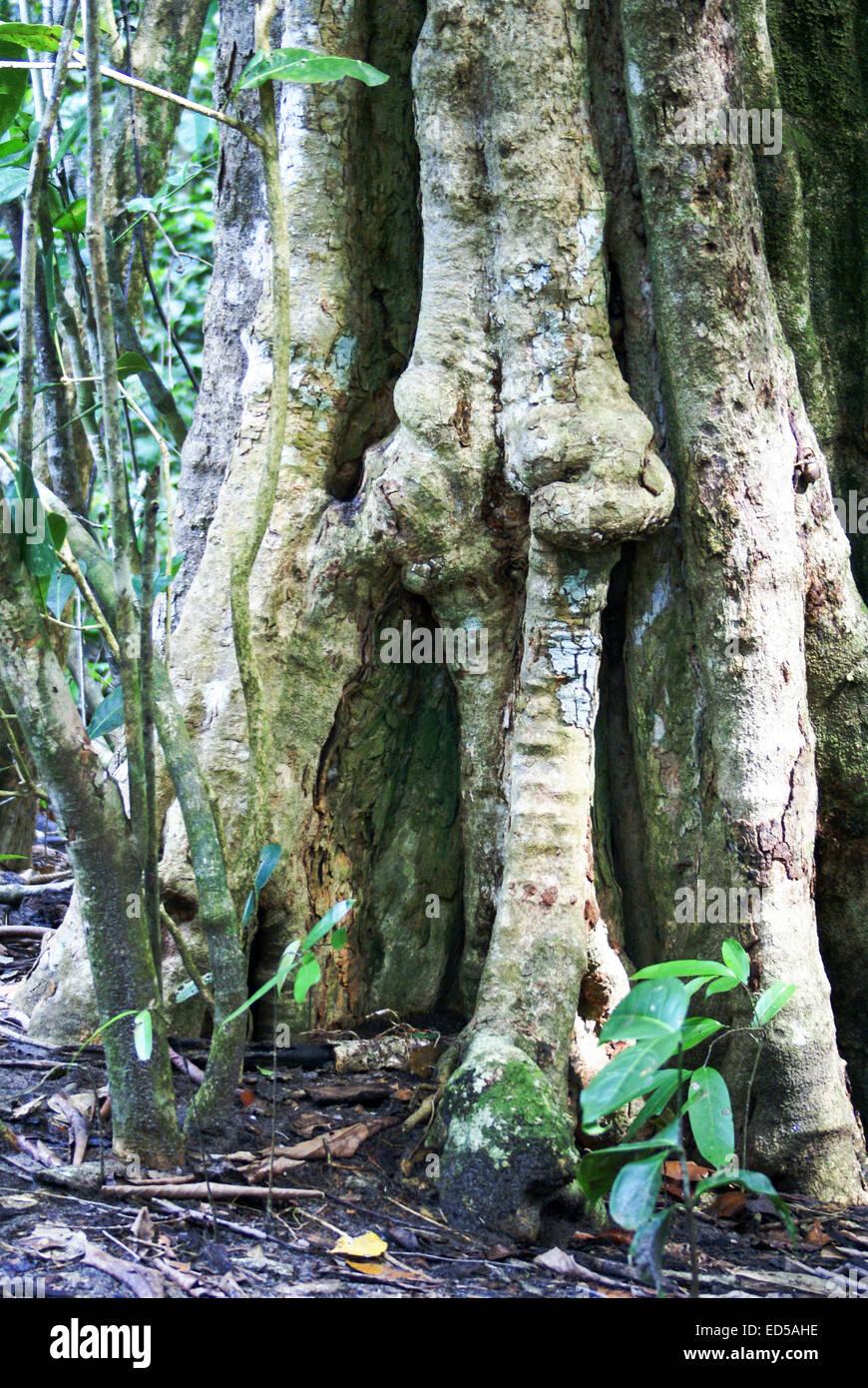 Ficus tree trunk Manuel Antonio National Park, (Parque Nacional Manuel Antonio), Costa Rica - Stock Image