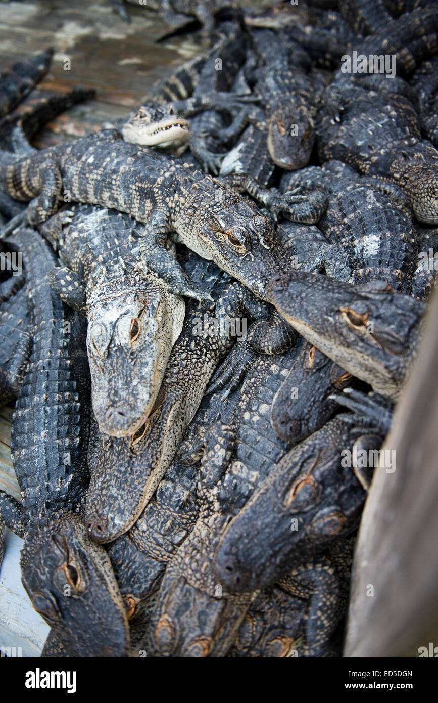 A congregation of hungry alligators waiting for dinner, Alligator Adventure in Myrtle Beach, South Carolina - Stock Image