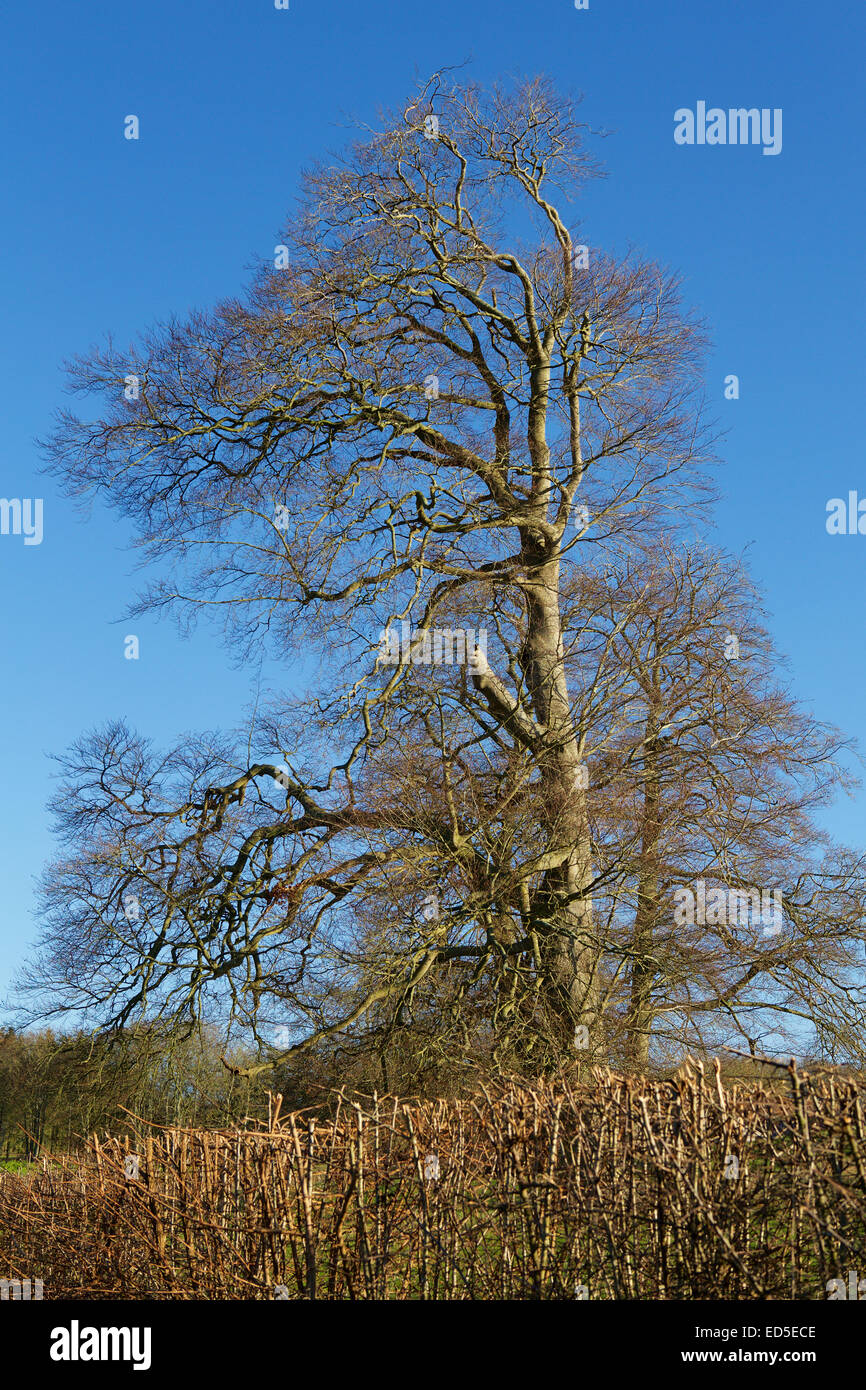 Landscape. Impressive tall tree behind a trimmed hedge. Tree has no leaves in this winter shot. Stock Photo
