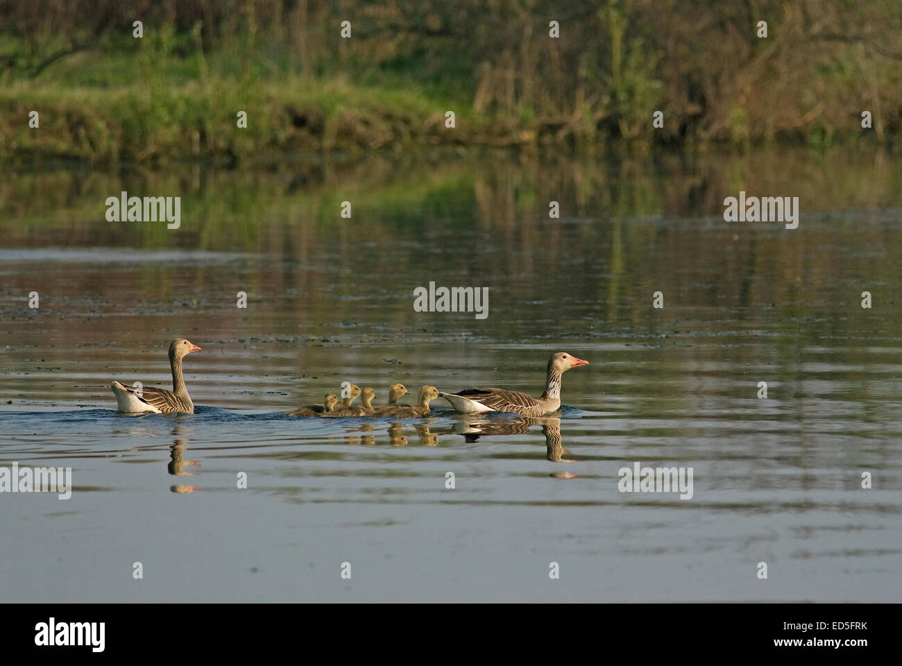 Couple of Greylag gooses (Anser anser) with fledglings, Danube delta, Romania, Europa - Stock Image
