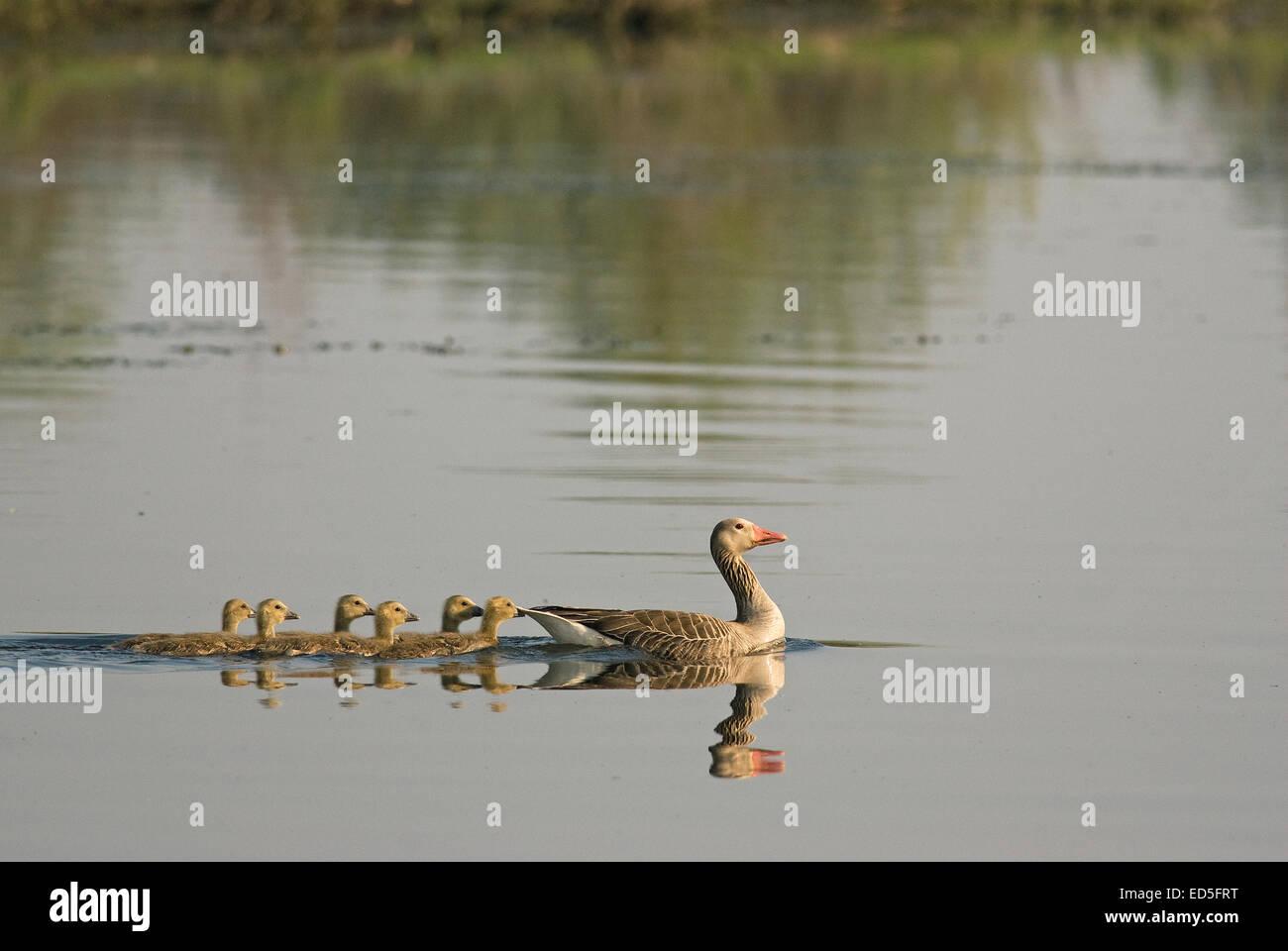 Greylag goose (Anser anser) with fledglings, Danube delta, Romania, Europa - Stock Image