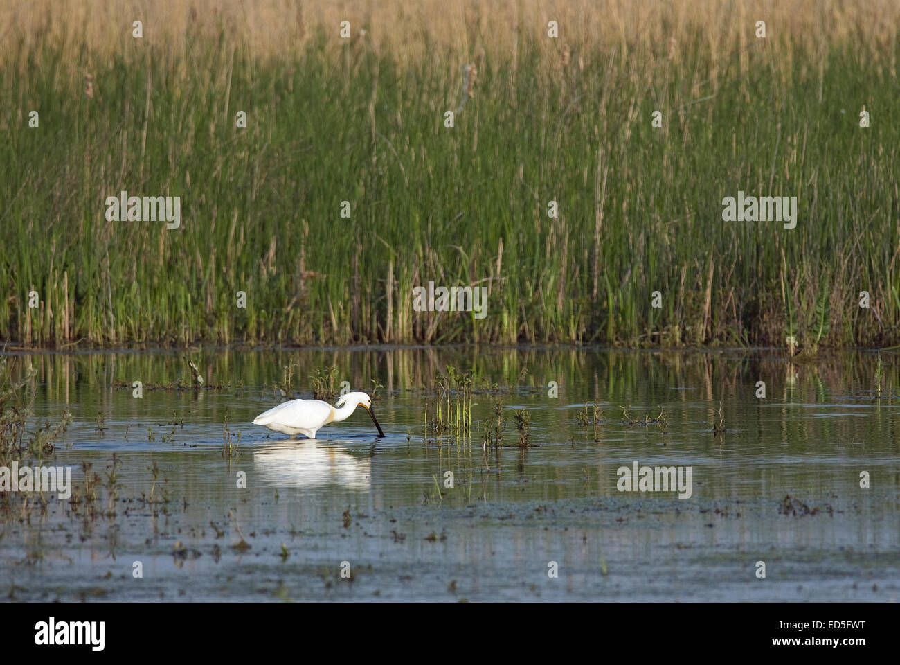 Common Spoonbill o Eurasian Spoonbill (Platalea leucorodia), Danube delta, Romania, Europa - Stock Image