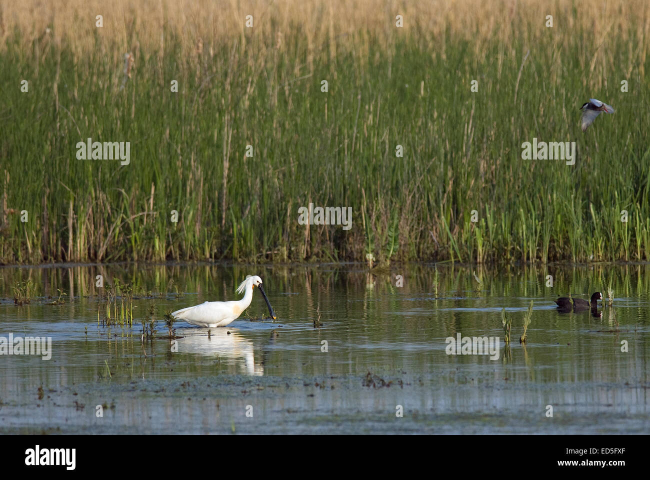 Common Spoonbill o Eurasian Spoonbill (Platalea leucorodia), Danube delta, Romania, Europe - Stock Image