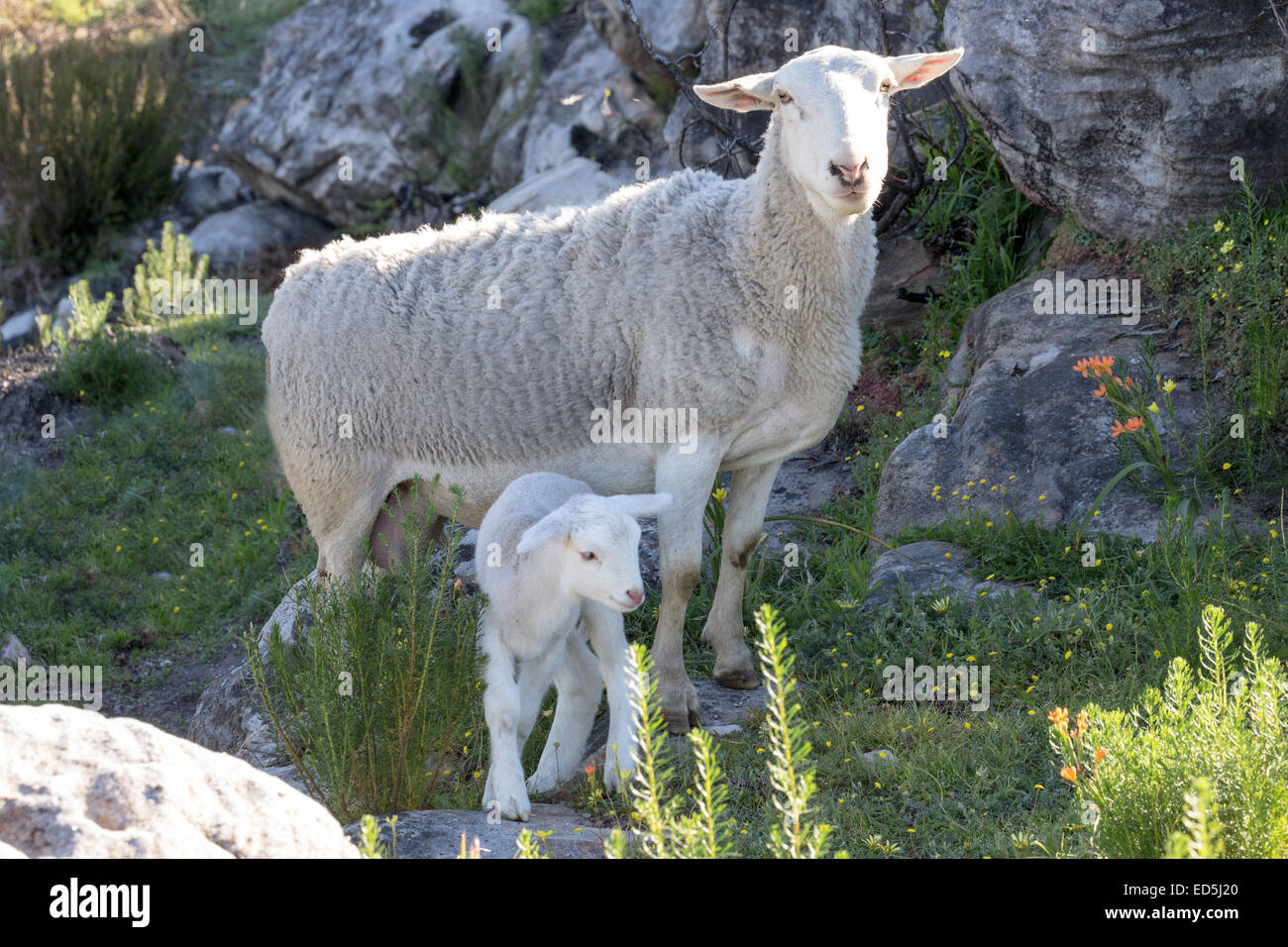 Ewe & lamb Heuningvlei Moravian Mission Station in the Cederberg mountains Western Cape South Africa - Stock Image