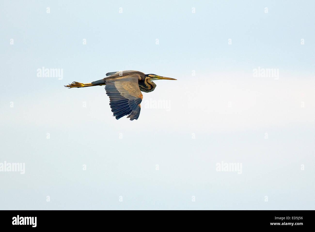 Purple heron (Ardea purpurea) in flight - Stock Image