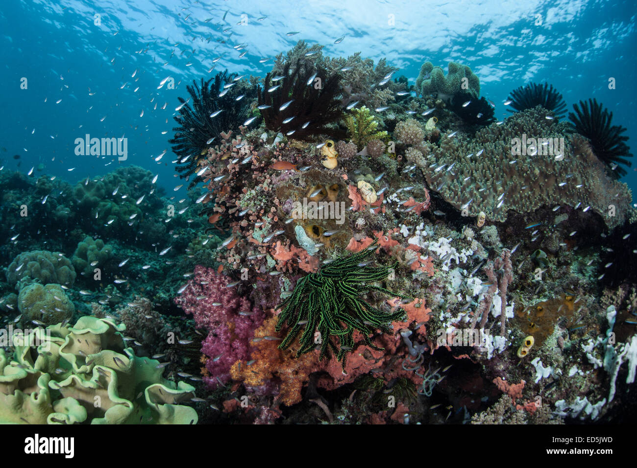 A beautiful and healthy coral reef grows in Indonesia. This part of the Pacific harbors a vast amount of marine - Stock Image