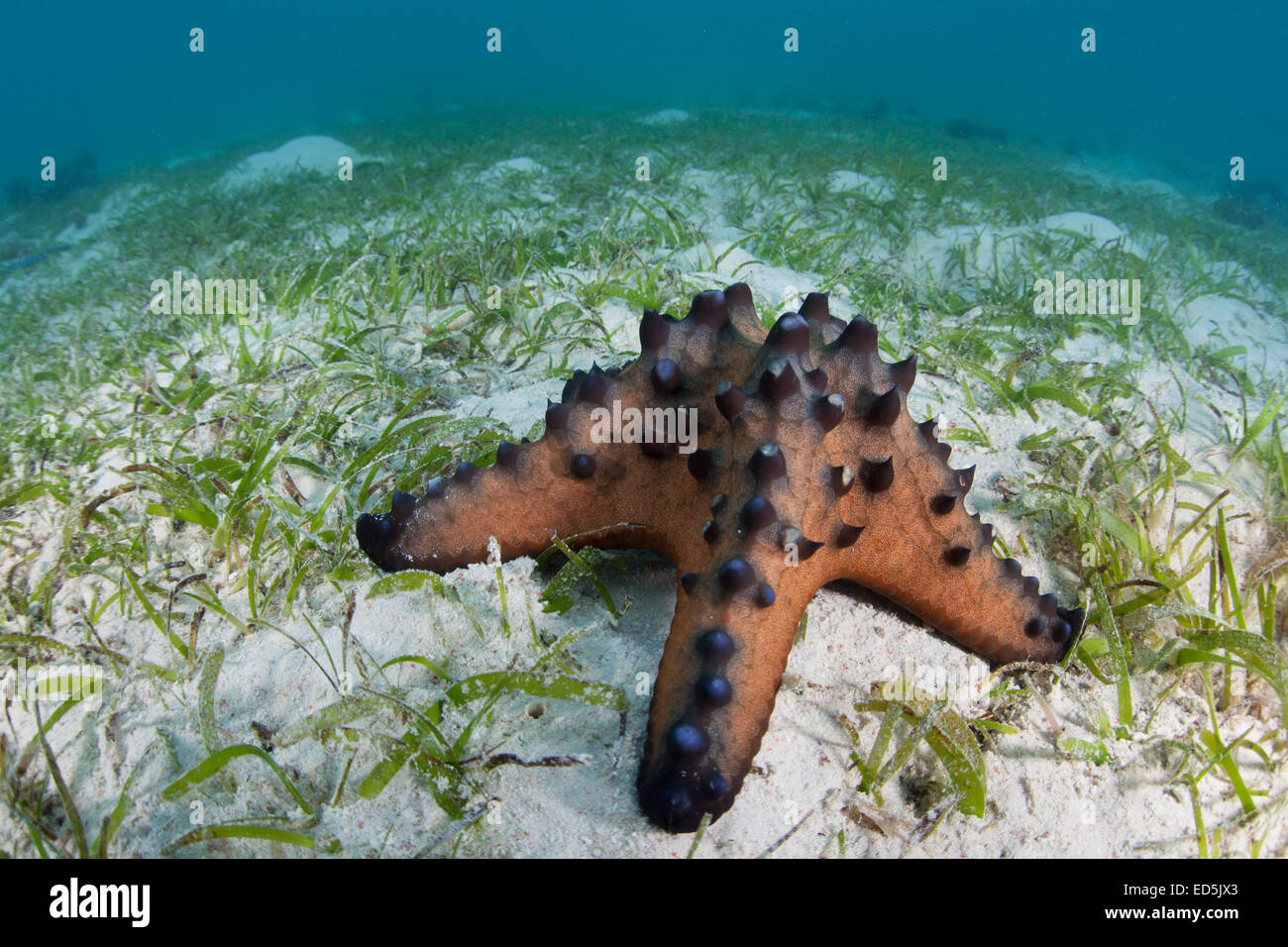 A Chocolate chip starfish crawls slowly across a seagrass meadow in Indonesia. This Pacific species of echinoderm - Stock Image
