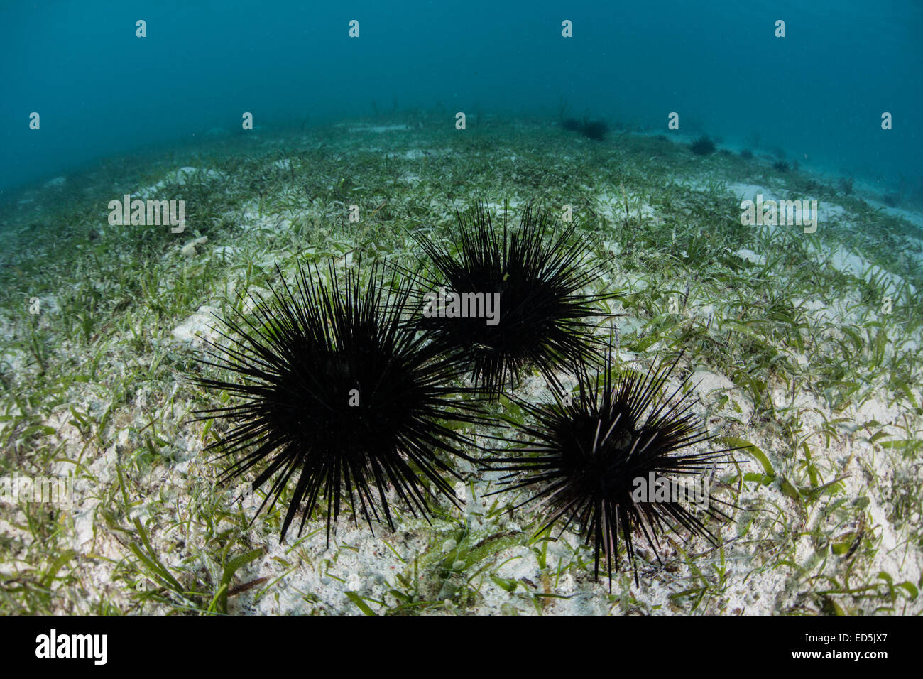 Black urchins (Diadema sp.) gather on a shallow seagrass meadow near the tropical island of Alor in Indonesia. - Stock Image