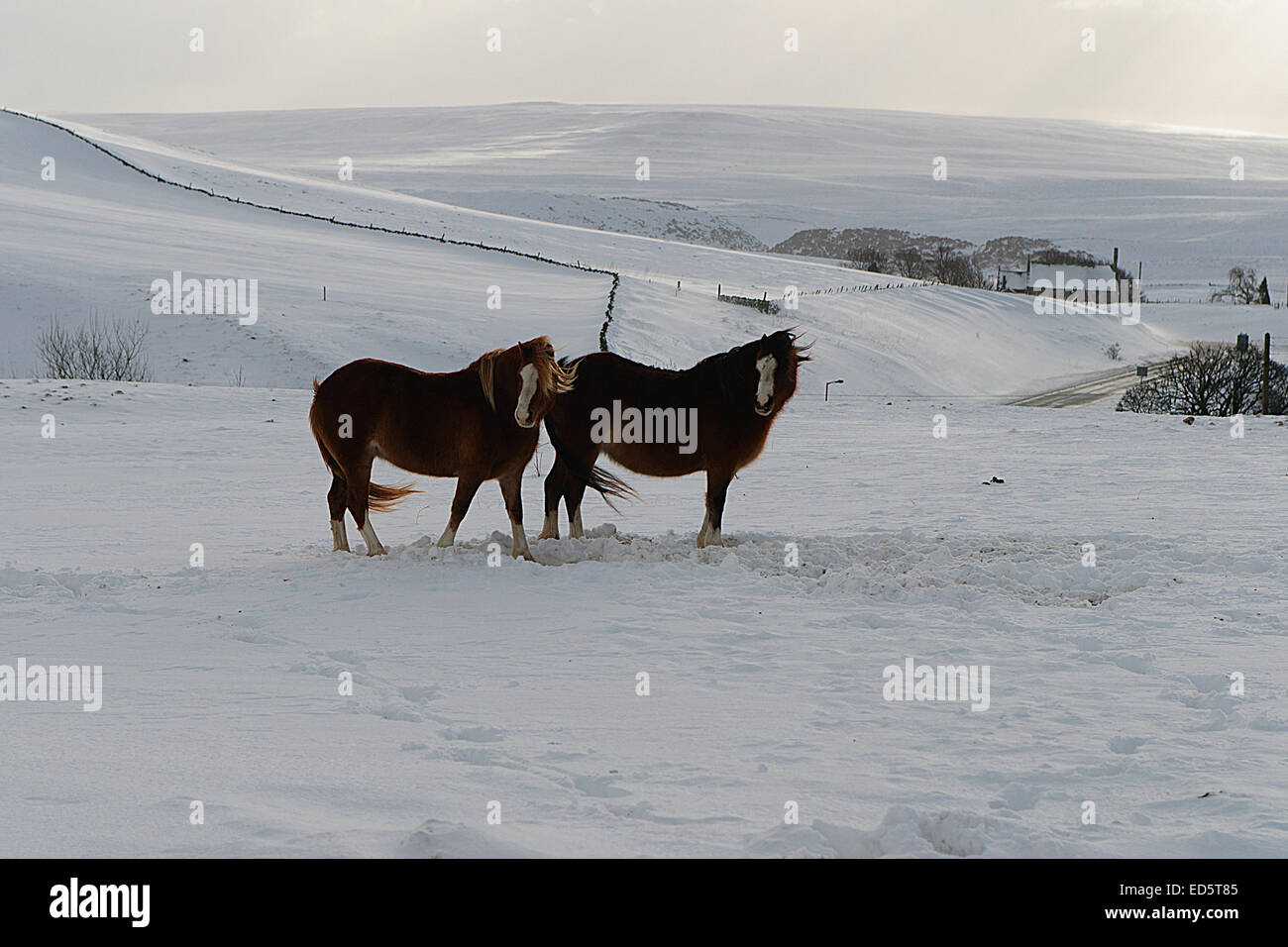 A real winters scene in Upper Teesdale with some horses braving the sub zero temperatures as seen at Langdon Bridge Stock Photo